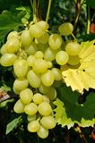Growing branch of grape Stock Photo