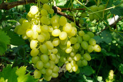 Growing branch of green grape in sunlight Stock Photo