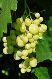 Growing branch of green grape in sunlight Royalty Free Stock Photos