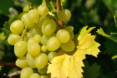 Growing branch of green grape in sunlight Stock Photography