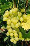 Growing branch of green grape in sunlight Royalty Free Stock Images