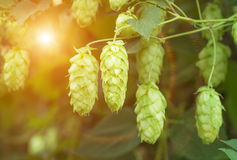 Growing on a branch of hop cones Stock Image