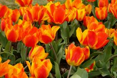 Growing bright orange and yellow bi-Color Tulips. Bright orange and yellow bi-Color Tulips flower bed close up Royalty Free Stock Photos