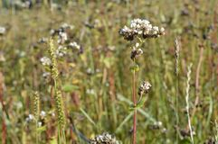 Buckwheat. Growing buckwheat, ready for harvest Royalty Free Stock Photo