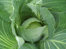 Growing cabbage Royalty Free Stock Photo