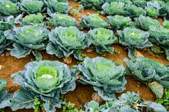 Growing cabbage in rows in the vegetable garden Royalty Free Stock Photography