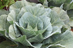 Growing Cabbage Stock Photos