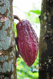 Growing cacao for Chocolate Stock Photos