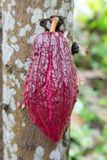 Growing cacao for Chocolate Stock Images