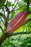 Growing cacao for Chocolate stock photo
