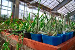 Growing cacti in greenhouse. Young succulent plants stand on large racks. Stock Image