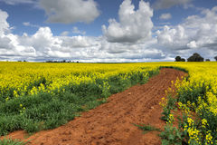 Growing Canola Fields Stock Photography