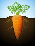 Growing of carrot tuber in ground Stock Images