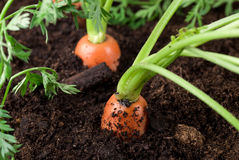 Growing Carrots royalty free stock photo