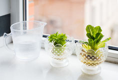 Growing celery and lettuce Royalty Free Stock Photos