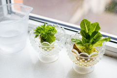 Growing celery and lettuce Stock Image
