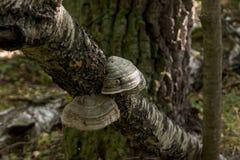 Growing chaga on the tree. royalty free stock image