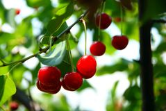 Growing cherries Stock Photo