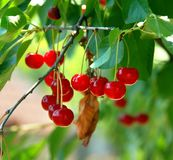 Growing cherries Royalty Free Stock Photo