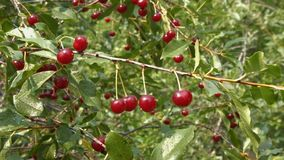 Growing cherry. 2 Shots. Close-up. stock video footage
