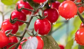 Growing  cherry tomatoes Royalty Free Stock Photo