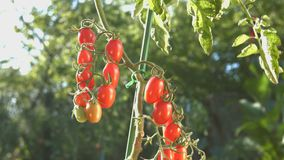 Growing cherry tomatoes in the sunlight. The smooth glide of the camera  from right to left  along the bush with a two bunch of cherry tomatoes stock footage