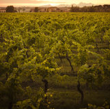 Growing Chianti vines Royalty Free Stock Image