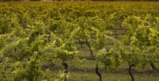 Growing Chianti vines Royalty Free Stock Images