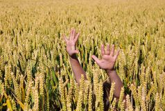 Growing a child. Child's arms in a corn field Stock Photos