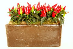 Growing chili peppers Stock Image
