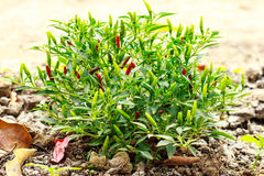 Growing chili peppers Royalty Free Stock Image