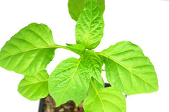 Growing a chilli pepper. Growing chilli peppers, 3 months old Royalty Free Stock Images