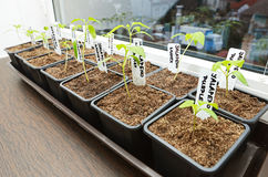 Growing chilli peppers. 1 month old Stock Photography