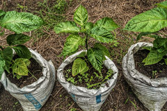 Growing chillie plant. Chilies plants growing in cement bag Stock Image