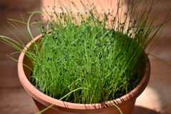 Growing chives inside. The sun grows royalty free stock image