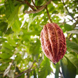 Growing cocoa bean. Cocoa bean growing on Cocoa tree, Bali island, Indonesia Royalty Free Stock Photography