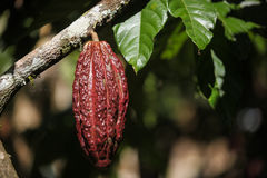 A growing cocoa pod Royalty Free Stock Images
