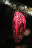 A growing cocoa pod Royalty Free Stock Image