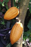 Growing Cocoa Pods Stock Images