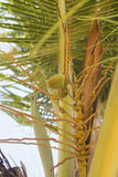 Growing coconut. Little orange coconut are growing Royalty Free Stock Photos
