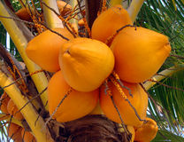 Growing coconuts Royalty Free Stock Photography