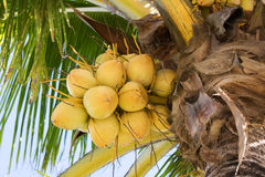 Growing coconuts. Yellow coconuts in a bunch growing on palm tree Stock Photography