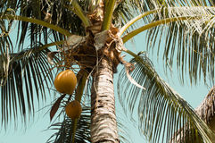 Growing coconuts in palm tree Royalty Free Stock Image