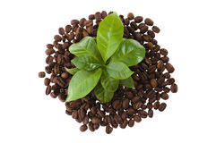 Growing coffee Stock Images