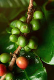 Growing coffee beans on  tree. Macro close up. Green coffee crop Stock Photo