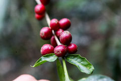 Growing coffee cherries Royalty Free Stock Images