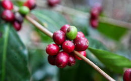 Growing coffee cherries Stock Photos