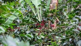 Growing coffee cherries Royalty Free Stock Photo