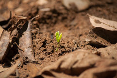Growing coffee seed on ground Stock Image