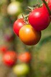 Growing colorful tomatoes. Growing ripening orange and red tomatoes hanging Royalty Free Stock Images